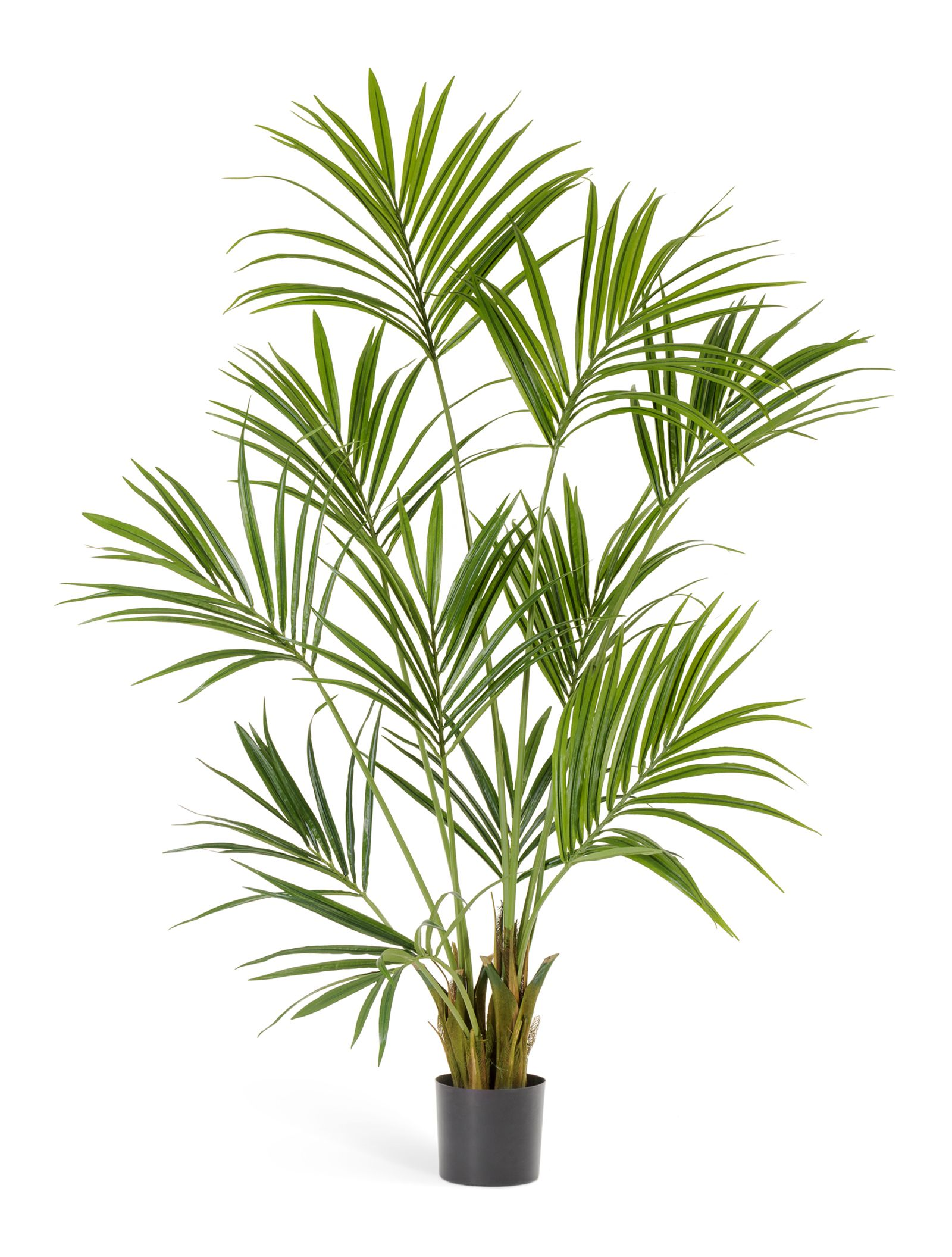 Домашняя пальма цветок в картинках